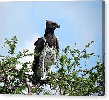 Martial Eagle Canvas Print