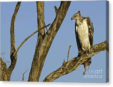 Martial Eagle With Its Prey Canvas Print