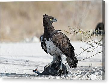 Martial Eagle With Live Guinea Fowl Prey Canvas Print by Tony Camacho