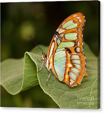 marvelous Malachite Canvas Print by Ruth Jolly