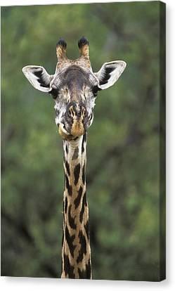 Giraffe Canvas Print - Masai Giraffe Serengeti Np by Konrad Wothe