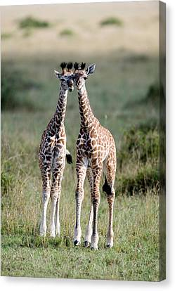 Masai Giraffes Giraffa Camelopardalis Canvas Print by Panoramic Images