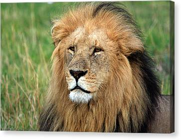 Masai Mara Lion Portrait    Canvas Print