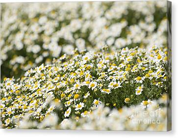 Masses Of Mayweed Canvas Print by Anne Gilbert