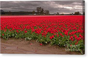 Massive Red And Pink Tulip Fields  Canvas Print