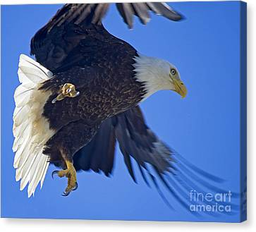 Canvas Print featuring the photograph Master Of The Sky by Nick  Boren