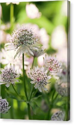 Masterwort (astrantia Major) Flowers Canvas Print by Adrian Thomas