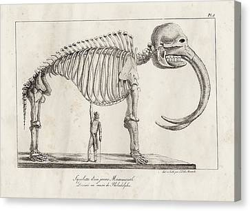 Mastodon Skeleton Canvas Print by American Philosophical Society
