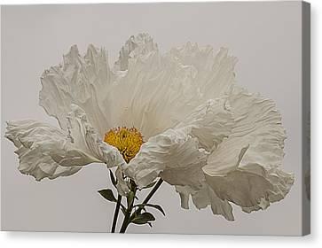 Matilija Poppy White On White Canvas Print by Lee Kirchhevel