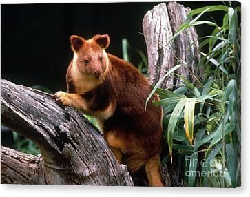 Matschies Tree Kangaroo Canvas Print by Mark Newman