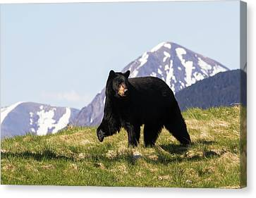 Mature Black Bear  Ursus Americanus Canvas Print by Doug Lindstrand