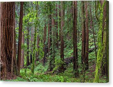 Mill Valley Canvas Print - Mature Redwood Forest In Muir Woods by Chuck Haney