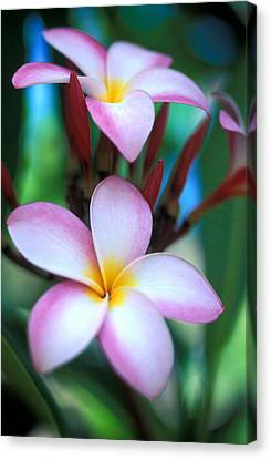 Maui Plumeria Canvas Print by Kathy Yates