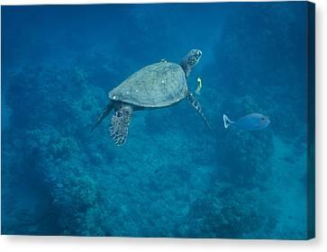 Maui Sea Turtle And Unicorn Fish Canvas Print by Don McGillis