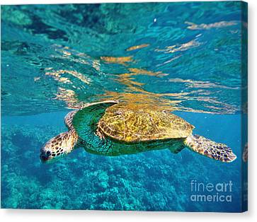 Maui Sea Turtle Canvas Print