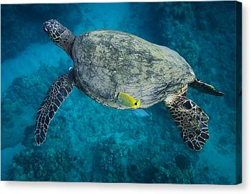 Maui Sea Turtle Cleaning Canvas Print by Don McGillis