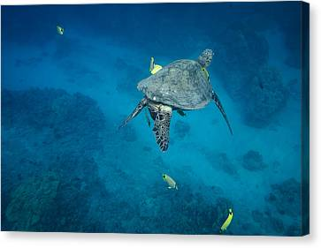 Maui Sea Turtle Cleaning Station Canvas Print