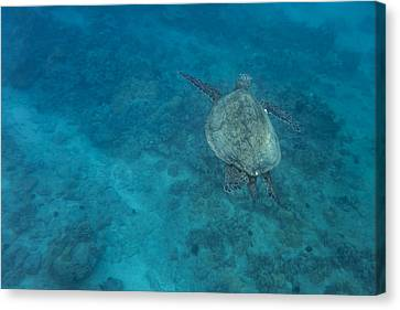 Maui Sea Turtle Comes In For A Landing Canvas Print