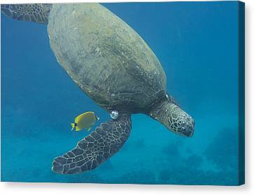 Maui Sea Turtle Dives To Cleaning Station Canvas Print