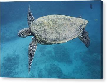 Maui Sea Turtle Flying Canvas Print by Don McGillis