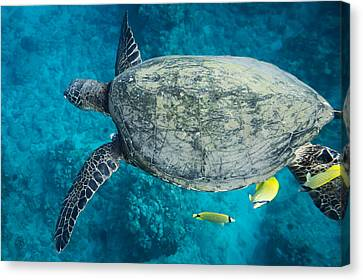 Maui Sea Turtle Flys In To A Cleaning Station Canvas Print