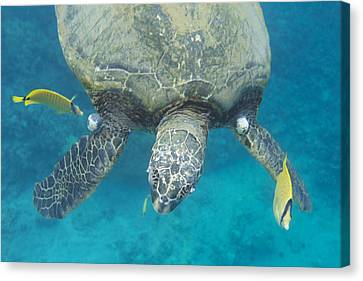 Maui Sea Turtle Gets Cleaned Canvas Print by Don McGillis