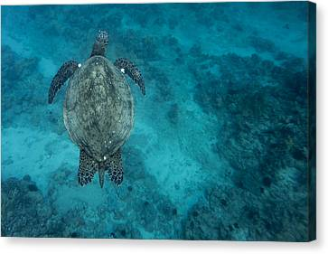 Canvas Print featuring the photograph Maui Sea Turtle Scouts For A Spot by Don McGillis