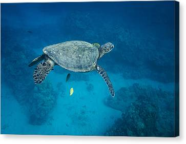 Maui Sea Turtle Suspended With Tail Tucked Canvas Print