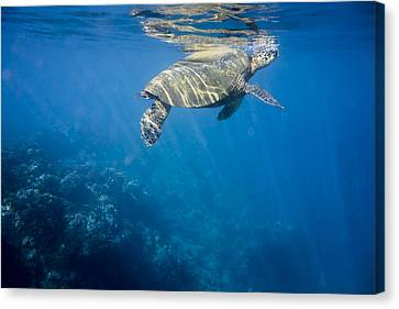 Maui Sea Turtle Takes A Breath At The Surface Canvas Print by Don McGillis
