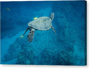 Maui Sea Turtle Tucks His Tail For Cleaning Canvas Print