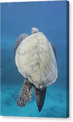 Maui Sea Turtle Vertical Canvas Print by Don McGillis