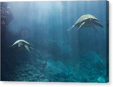 Maui Sea Turtles Farewell Canvas Print by Don McGillis