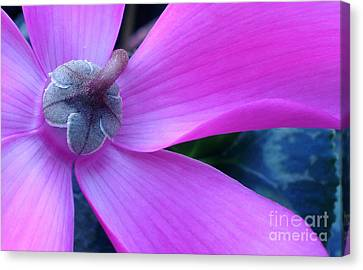 Mauve Cyclamen Canvas Print by Kaye Menner