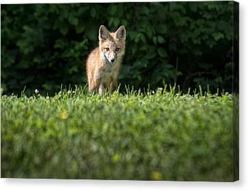 May 15 2014 Young Fox Looking At Richland Ky Canvas Print