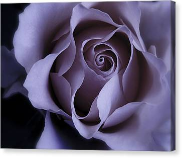 May Dreams Come True - Purple Pink Rose Closeup Flower Photograph Canvas Print