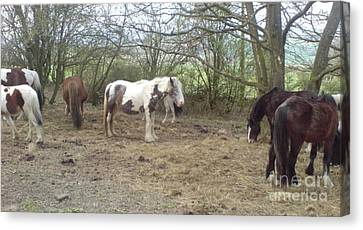 Canvas Print featuring the photograph May Hill Ponies 1 by John Williams