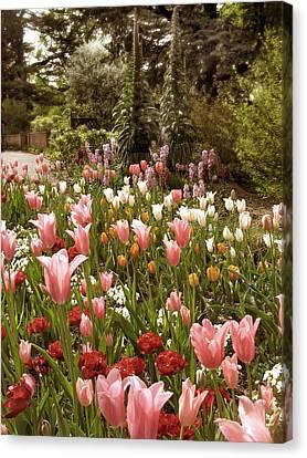 May Tulips Canvas Print