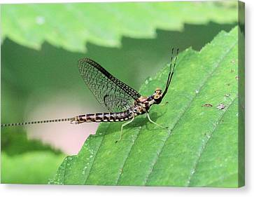 Mayfly Canvas Print