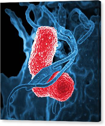 Microscopic Organism Canvas Print - Mdr Pathogen, Klebsiella Pneumoniae, Sem by Science Source