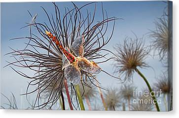Meadowhawk Dragonfly Canvas Print by Beverly Guilliams