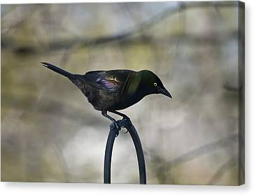 Mean Mr. Grackle Canvas Print by Ross Powell