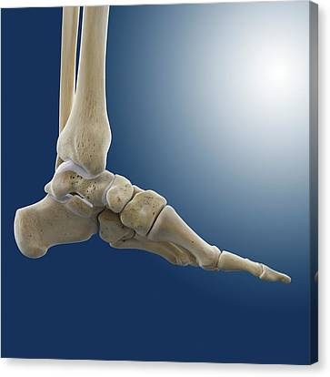 Medial Foot And Ankle Bones Canvas Print by Springer Medizin