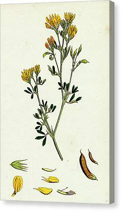 Medicago Eu-falcata Yellow Lucerne Canvas Print