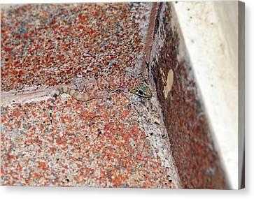 Mediterranean House Gecko On A Wall Canvas Print by Bob Gibbons