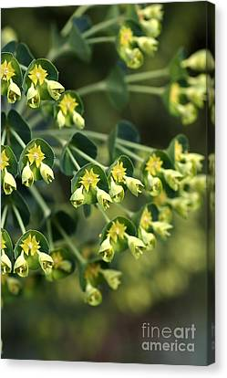 Mediterranean Spurge Canvas Print by Joy Watson