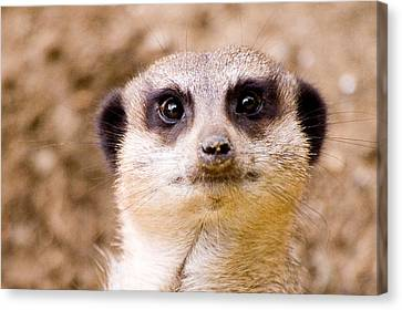 Meerkat Canvas Print by Daniel Kocian