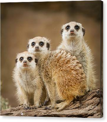 Meerkat Family Canvas Print by Craig Dingle