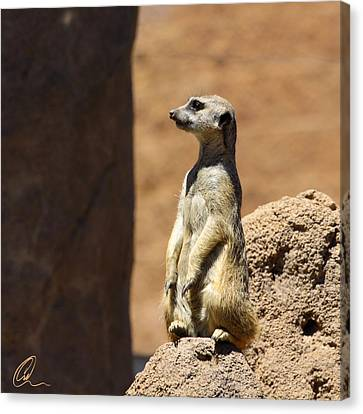 Meerkat Lookout Squared Canvas Print