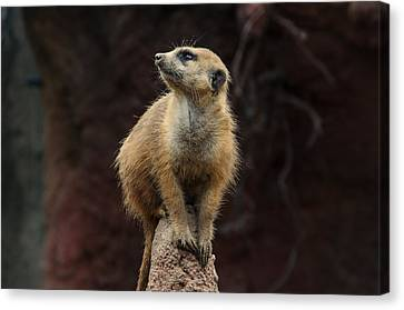 Meerkat  Canvas Print by Michael Demagall