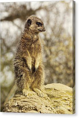 Meerkat On Hill Canvas Print by Pixel Chimp